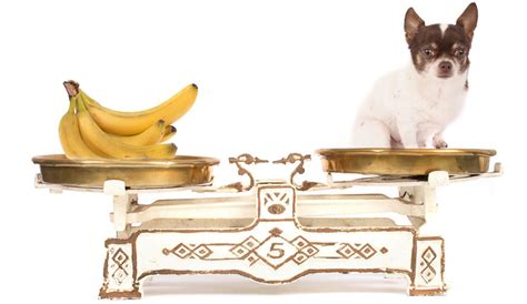dogs eat bananas can dogs eat bananas and banana peel smallfluffydogbreeds
