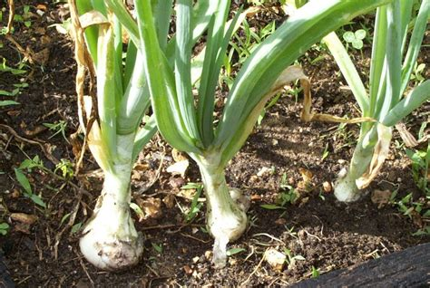 Gardening Onions farmgirl fare onions in the garden