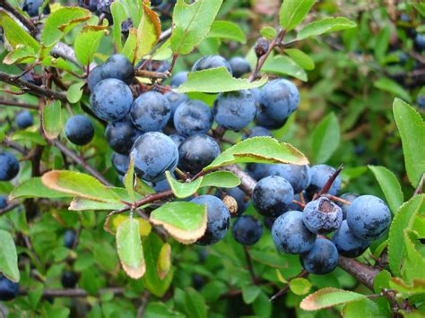 fruit of blackthorn tree trees planet prunus spinosa blackthorn sloe