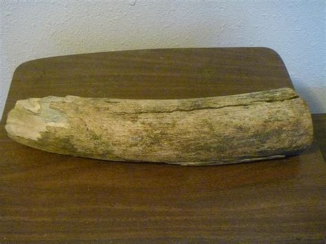 mastadon tusk breaking trail in barrow for whaling fm forums