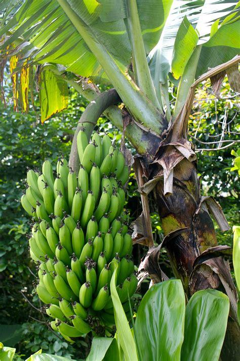 bananas on tree a walk through my yard plants of hawaii livin the