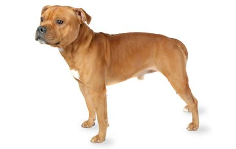 staffordshire dogs staffordshire bull terrier breed information pictures characteristics facts