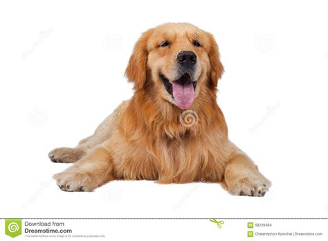 purebred golden retriever price purebred golden retriever sitting on isolated white backgrou stock photo image