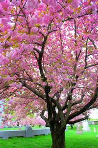 mille fiori favoriti pink saturday pink trees