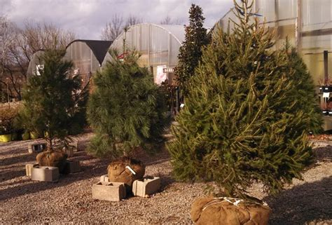 pike nursery christmas trees franklin plant nursery sells rooted trees franklin home page