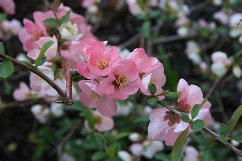 flowering shrubs new shrubs for oklahoma gardens