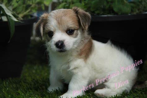 parkers precious puppies the morkie quot s precious puppies quot the puppy you will buy tomorrow