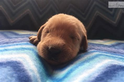 puppies for sale utica ny oliver labradoodle puppy for sale near utica rome oneida new york 98658f69 b5b1