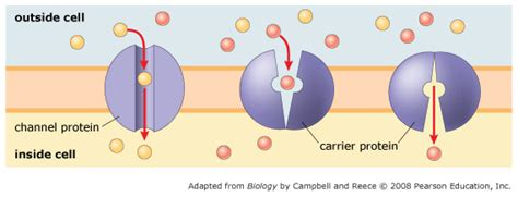 2 proteins in facilitated diffusion solved membrane transport 1 of 4 diffusion and passive