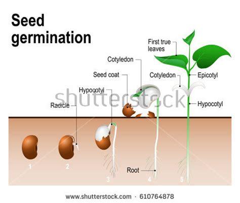 growth pattern en francais seed germination stock vector 610764878 shutterstock
