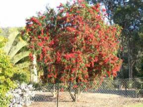 Picture Of Flowering Trees - grevilleas com au callistemon wildfire