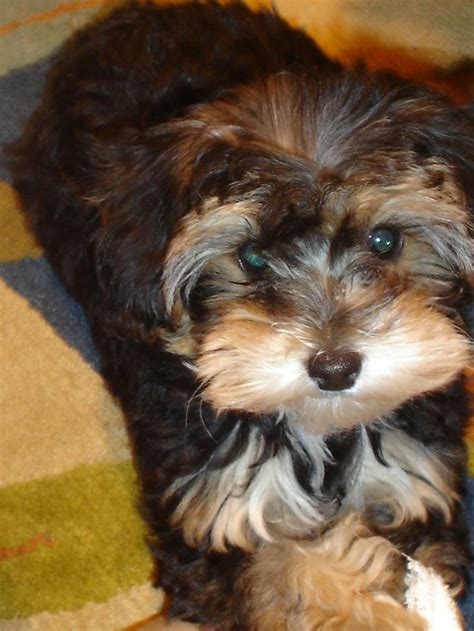 yorkie poo haircut 134 best pets images on pinterest
