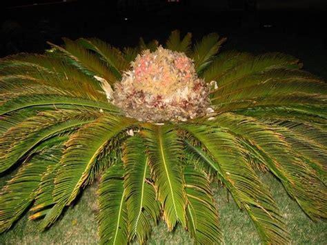 cycas maschio piante da giardino cycas maschio per il