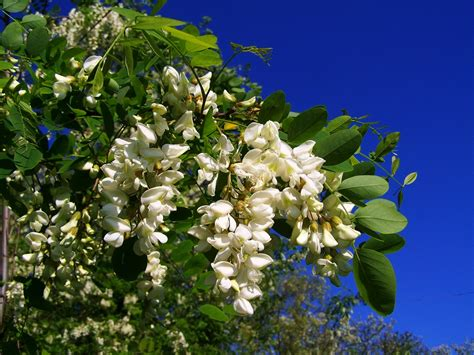 sognare fiori significato cosa significa sognare fiori d acacia interpretazione