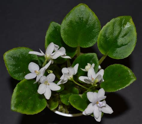 28 best violet leaves turning white sparkle leaf african violet macro charmaine flickr
