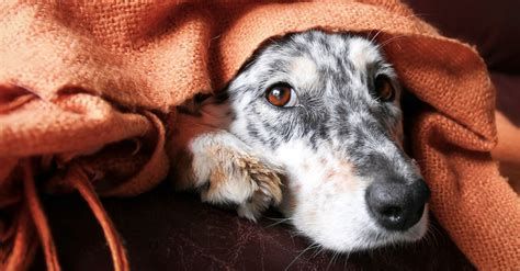 thunder blanket for dogs thunderstorms and dogs 6 tips will make you handle this fear urdogs