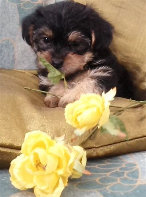 yorkie puppies for sale in east terrier puppies for sale brighton east sussex pets4homes