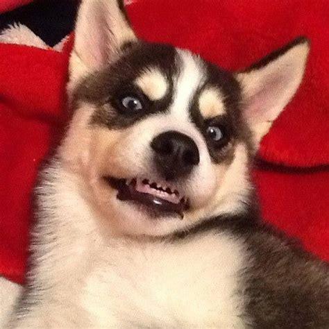 evil puppy evil puppy oska my furkid