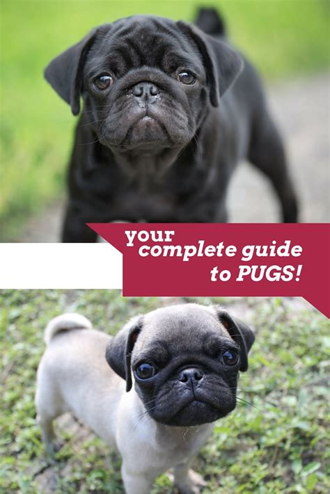 should i buy a pug the pug the happy puppy site