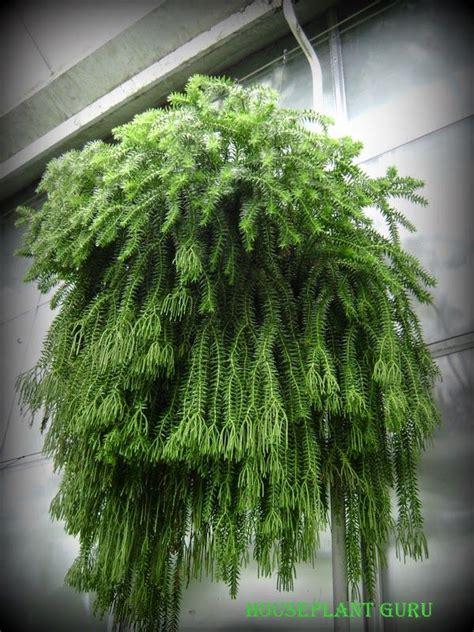 unique indoor plants unique tassel fern care tips https www houseplant411