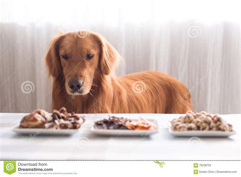 food for golden retriever golden retriever and its food stock image image 78238755