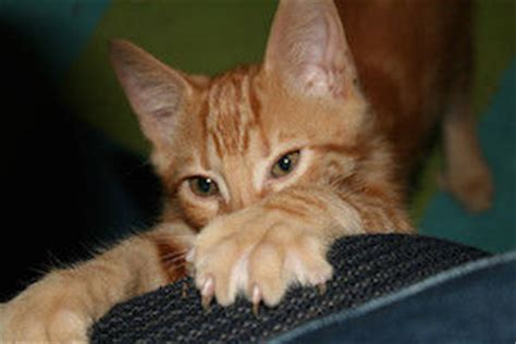 Do Cats Shed Their Nails by Cat Claws The Lowdown On Keeping Them Healthy And Strong