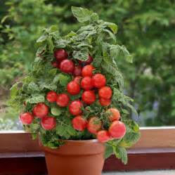 Balcony Container Gardening - tomato plants f1 sweet n neat red