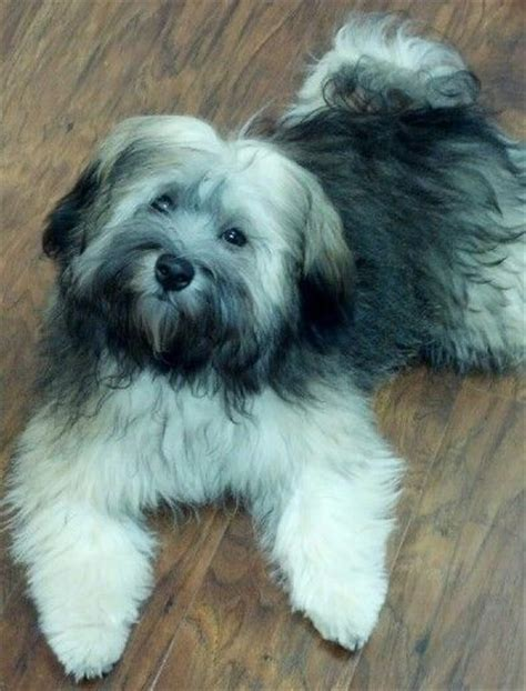 silver havanese 6 months 6 month olds and silver on