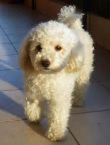 Poodle Rescue Camila The Poodle Dogs Daily Puppy