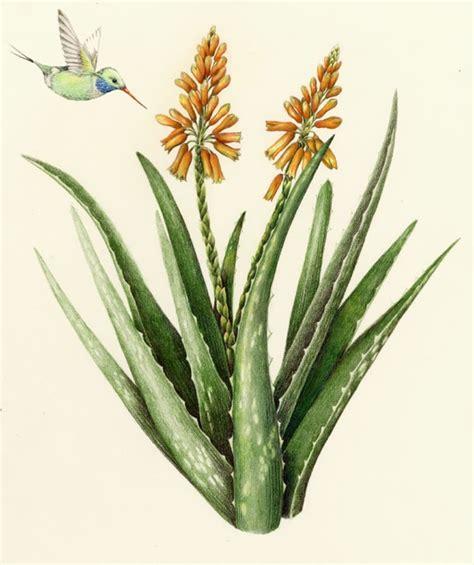 aloe vera on tattoo 47 best botanical images on botanical
