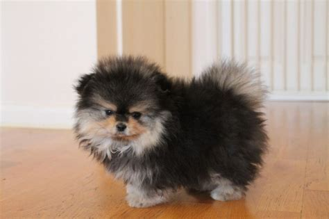 pomeranian puppies free two beatiful pomeranian puppies for free adoption offer