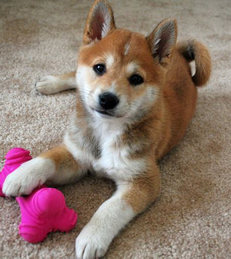 puppy shiba inu uploaded by user