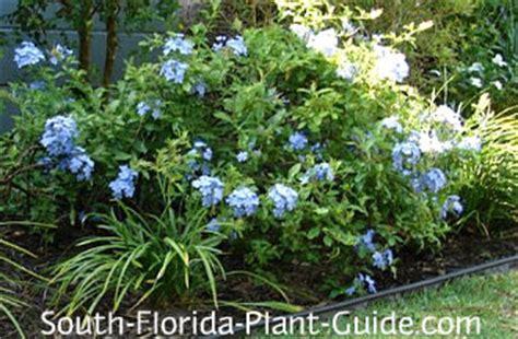 blue flowering shrubs in florida blue plumbago