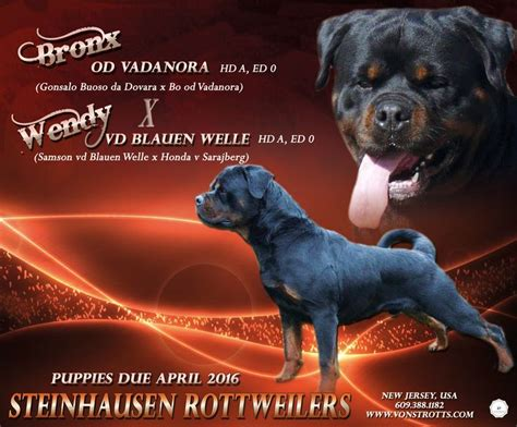 steinhausen rottweilers 78 images about rotts on rottweiler german rottweiler puppies and