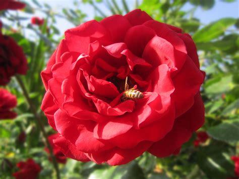 wallpaper bunga peony gambar menanam daun bunga mawar merah lebah peony