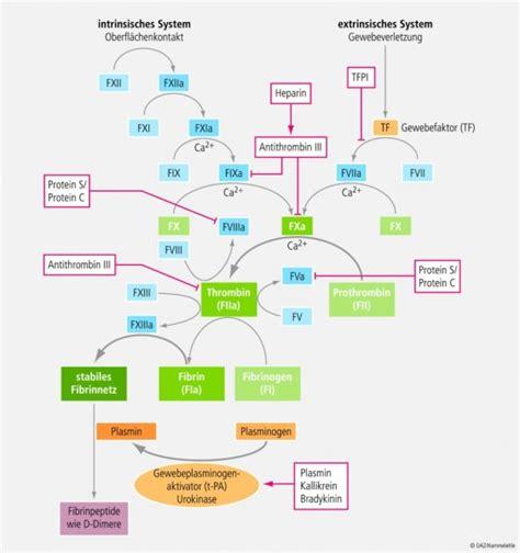 protein z schwangerschaft thrombose phlebologisch verstehen