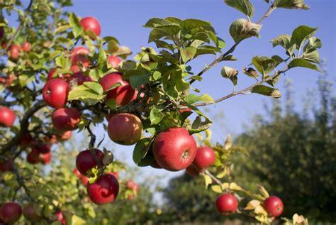 apple tree growing fruit trees hints and tips realenglishfruit
