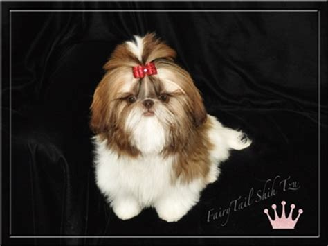 fairytale shih tzu 17 best images about shih tzu on adoption puppys and for sale