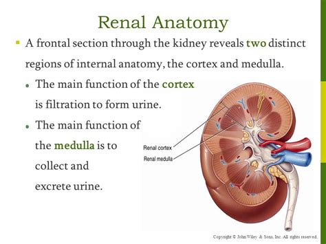 what section of the kidney collects the urine chapter 26 the urinary system ppt download