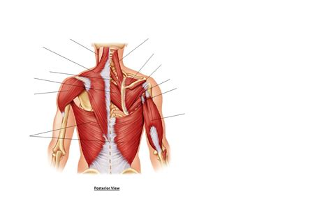 diagram of back muscles file