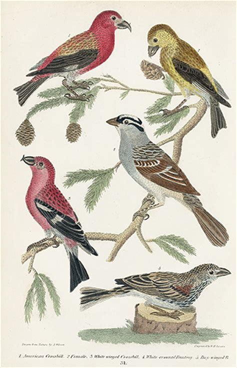 histories of american cuckoos goatsuckers hummingbirds and their allies orders psittaciformes cuculiformes trogoniformes and micropodiiformes classic reprint books wilson history of birds of the united