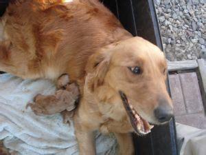 golden retriever puppies washington dc golden retriever puppies in washington dc