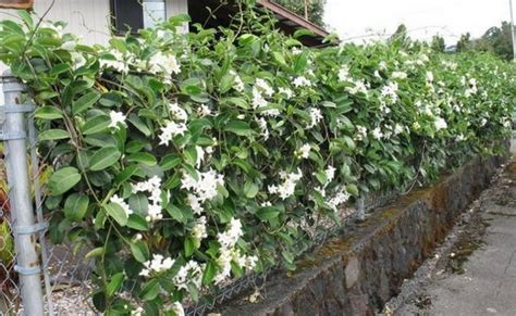 Tanaman Rambat Nona Makan Silih Pohon Rambat Nona Makan Sirih top 10 beautiful climbing plants for fences and walls