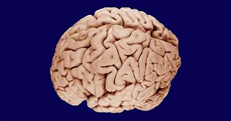 brain size brain size evolved with size along for the ride