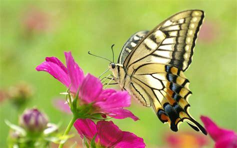 Tempat Minum Bentuk Kupu Kupu 5 fakta unik dari kupu kupu yang mungkin belum kamu tahu