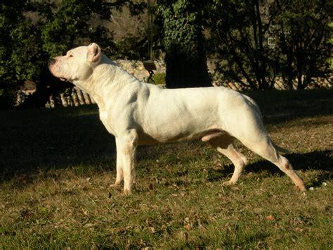 dogo argentino dogo argentino hondenforum