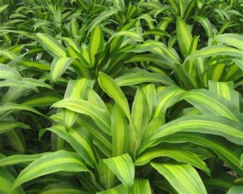 dracaena fragrans massangeana happy plant chinese good