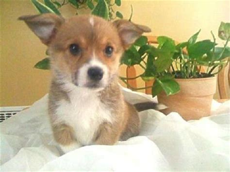 corgi puppies ohio corgi puppies for sale in ohio zoe fans baby animals