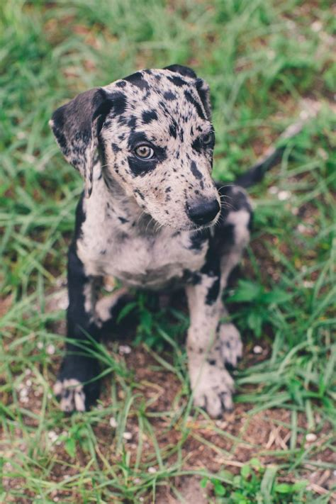 catahoula leopard puppies louisiana catahoula leopard www laurenpiper photography pets
