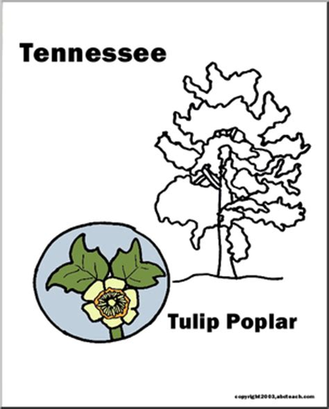 indiana state tree coloring page tennessee state tree tulip tree tulip poplar abcteach
